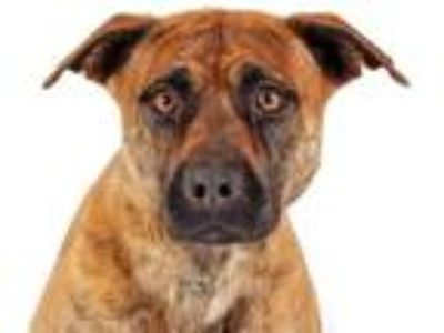 Adopt Allistair a Brindle - with White Pit Bull Terrier / Mixed dog in Prescott