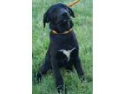 Adopt Eloise a Black - with White German Shepherd Dog / Labrador Retriever /