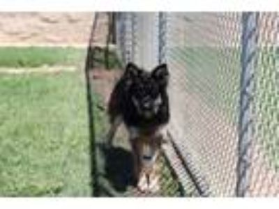 Adopt A521508 a German Shepherd Dog