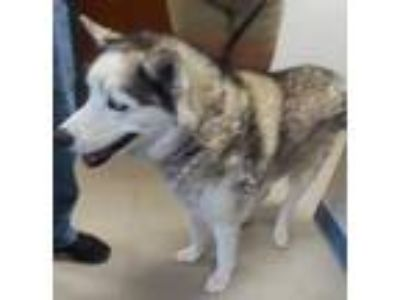 Adopt 38834546 a White Husky / Mixed dog in Los Lunas, NM (22117791)