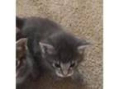 Adopt Teacup a Gray or Blue Domestic Shorthair / Domestic Shorthair / Mixed cat