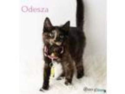 Adopt Odesza a All Black Domestic Shorthair / Domestic Shorthair / Mixed cat in