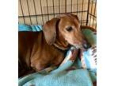 Adopt Murphy3 a Red/Golden/Orange/Chestnut Dachshund / Mixed dog in Orangeburg