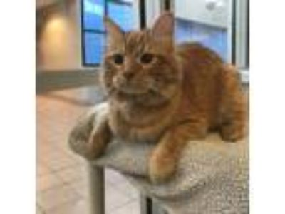 Adopt Fat Boy a Orange or Red Domestic Longhair / Domestic Shorthair / Mixed cat