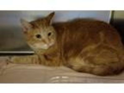 Adopt Mello a Orange or Red Tabby Domestic Shorthair (short coat) cat in Taylor
