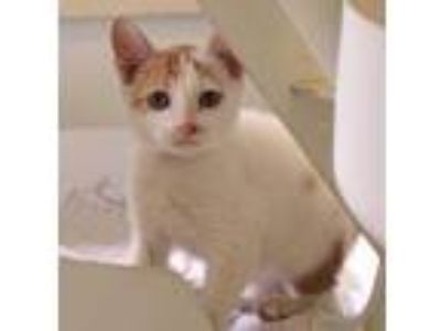 Adopt Lion-O a White Domestic Shorthair / Domestic Shorthair / Mixed cat in