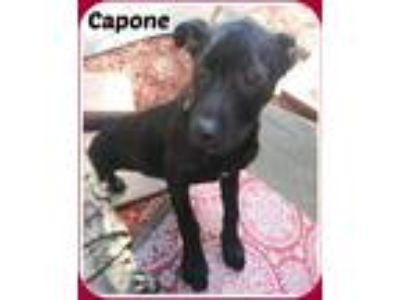 Adopt CAPONE a Black Labrador Retriever / Mixed dog in Malvern, AR (21226402)