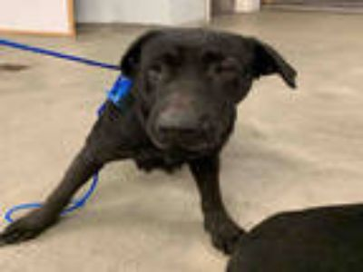 Adopt LILLY a Black Labrador Retriever / Mixed dog in Houston, TX (24514197)