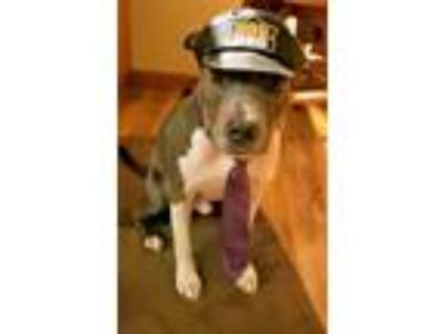 Adopt Logan a Gray/Silver/Salt & Pepper - with White American Pit Bull Terrier /