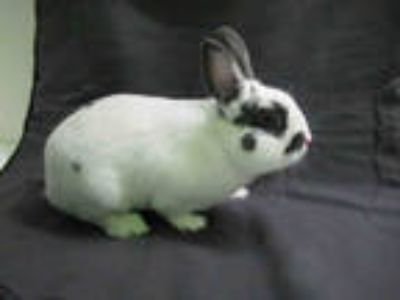Adopt WILLY a Black Dwarf Hotot / Mixed rabbit in Los Angeles, CA (24593095)