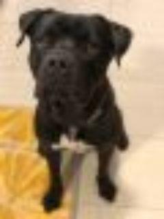 Bruno Cane Corso Mastiff - Staffordshire Bull Terrier Dog