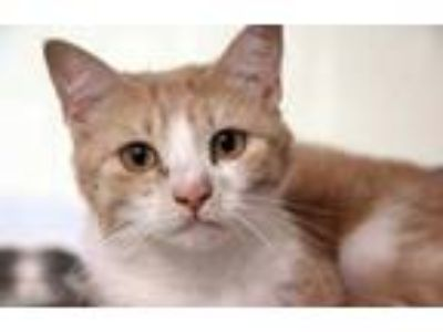 Adopt Apricot a Tan or Fawn Domestic Shorthair / Domestic Shorthair / Mixed cat