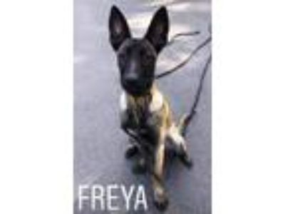 Adopt Freya a Belgian Malinois / Mixed dog in Oak Bluffs, MA (25517358)
