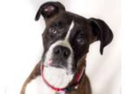 Adopt THEONA a Boxer, Mixed Breed