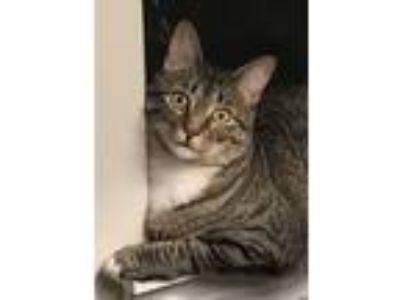 Adopt Minnie a Tiger Striped American Shorthair / Mixed cat in Delray Beach