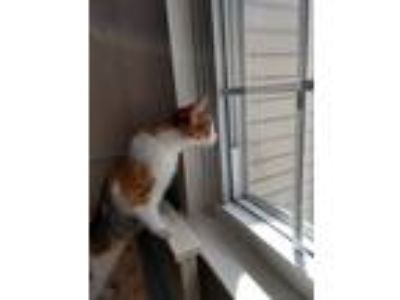 Adopt Savannah (Needs Foster) a White Domestic Shorthair cat in Washington