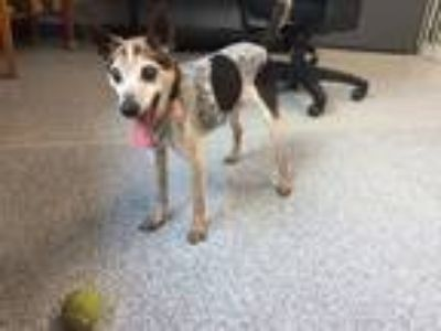 Adopt Edison a Black - with White Rat Terrier / Cattle Dog dog in Bartlesville