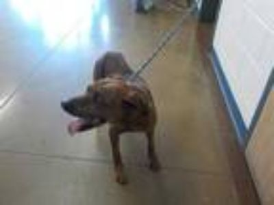 Adopt a Brindle Lakeland Terrier / American Pit Bull Terrier / Mixed dog in