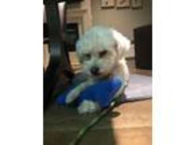 Adopt Pucky a Poodle
