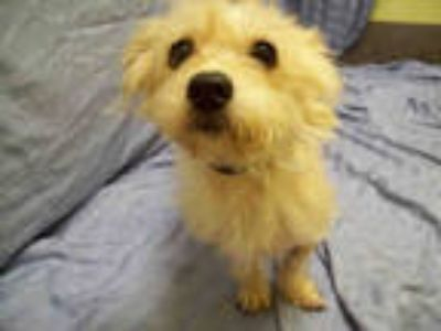 Adopt BLANCA a Tan/Yellow/Fawn - with White Australian Terrier / Mixed dog in