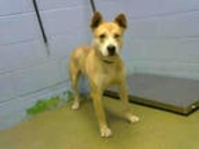 Adopt a Tan/Yellow/Fawn - with White German Shepherd Dog / American Pit Bull