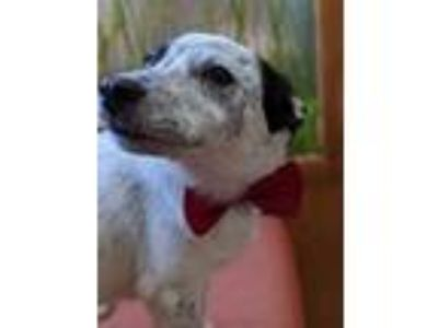 Adopt Joker a Rat Terrier