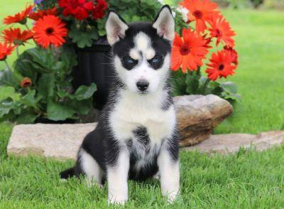 Siberian Husky PUPPY FOR SALE ADN-79247 - Siberian Husky Puppy For Sale