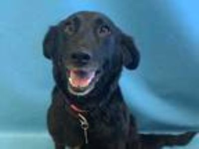 Adopt Mallory a Black Retriever (Unknown Type) / Mixed dog in St.