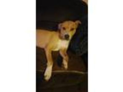 Adopt Dylan a Tan/Yellow/Fawn - with White Labrador Retriever / Mixed dog in