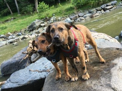 German Shepherd Dog-Beagle Mix DOG FOR ADOPTION ADN-75344 - German Shepherd Beagle Dogs For Adoption