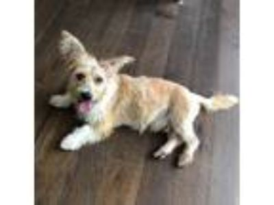 Adopt Davenport a Red/Golden/Orange/Chestnut Corgi / Cairn Terrier / Mixed dog