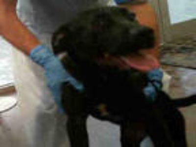 Adopt ADRIAN a Black Labrador Retriever / Mixed dog in Dallas, TX (25312015)