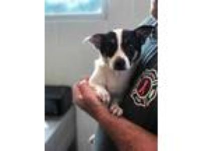 Adopt Keith a White Jack Russell Terrier / Mixed dog in Florence, AL (25883569)