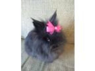 Adopt Aurora a Black Lionhead / Mixed (long coat) rabbit in Hahira