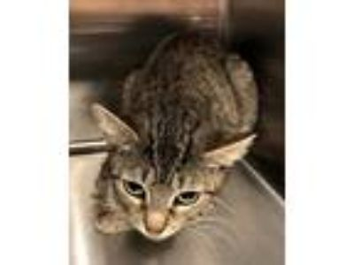 Adopt Shawna a Brown Tabby Domestic Shorthair / Mixed (short coat) cat in Hilton