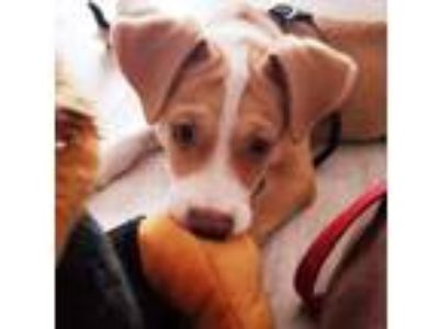 Adopt CeeCee Rico a Tan/Yellow/Fawn - with White Labrador Retriever / Mixed dog