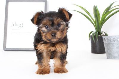 Yorkshire Terrier PUPPY FOR SALE ADN-99520 - Babe Female Yorkie Puppy