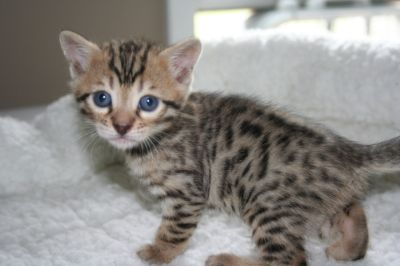 Pure Bengal Kittens For Sale