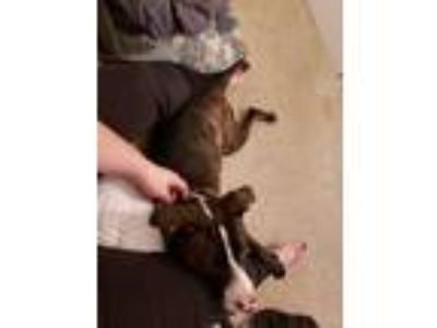 Adopt Hope a Brindle American Pit Bull Terrier / Border Collie / Mixed dog in