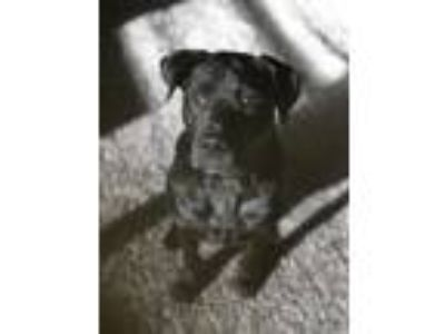 Adopt Chubbs a Black Labrador Retriever / Chow Chow / Mixed dog in Arlington