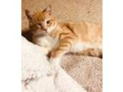 Adopt Buster a Orange or Red (Mostly) Domestic Shorthair (short coat) cat in