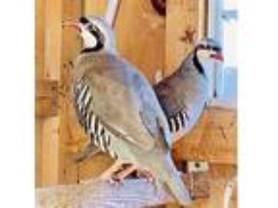 Adopt Male Chukar Partridge 2 a Pheasant bird in Quakertown, PA (25877843)