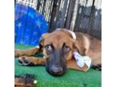 Adopt Dee a Tan/Yellow/Fawn Shepherd (Unknown Type) dog in Island Park