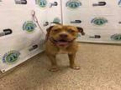 Adopt BARKLEY a Mastiff, Mixed Breed