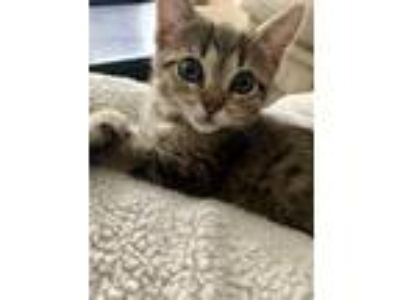 Adopt Audi a Domestic Shorthair / Mixed cat in Birmingham, AL (25576671)