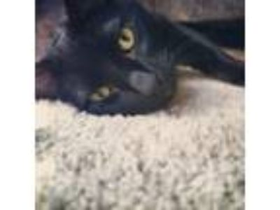 Adopt Sunny a All Black Domestic Shorthair cat in Dallas, TX (25913458)