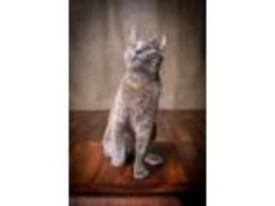 Adopt SUZY Q a Dilute Tortoiseshell, Domestic Short Hair