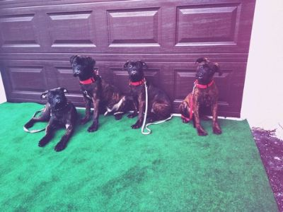 Bullmastiff PUPPY FOR SALE ADN-75385 - Bullmastiff puppies for sale