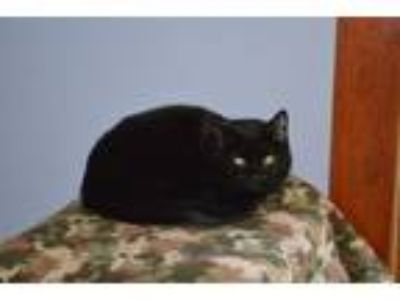 Adopt Godiva a Domestic Short Hair