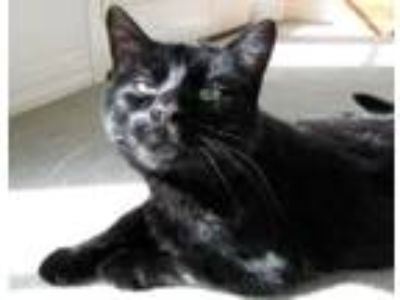 Adopt Blackie a All Black Domestic Shorthair (short coat) cat in Huntley